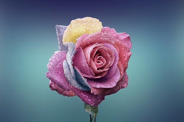rose, fleur, l'amour